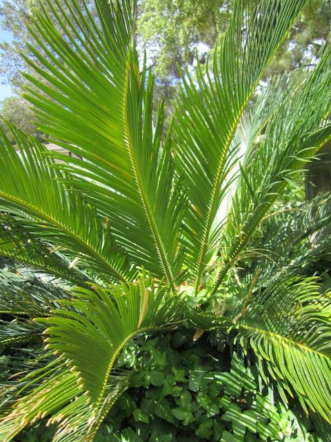 Sago Palm {Garden}