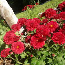 How to Grow Chrysanthemums {Garden}