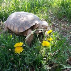 Las Vegas Desert Tortoise