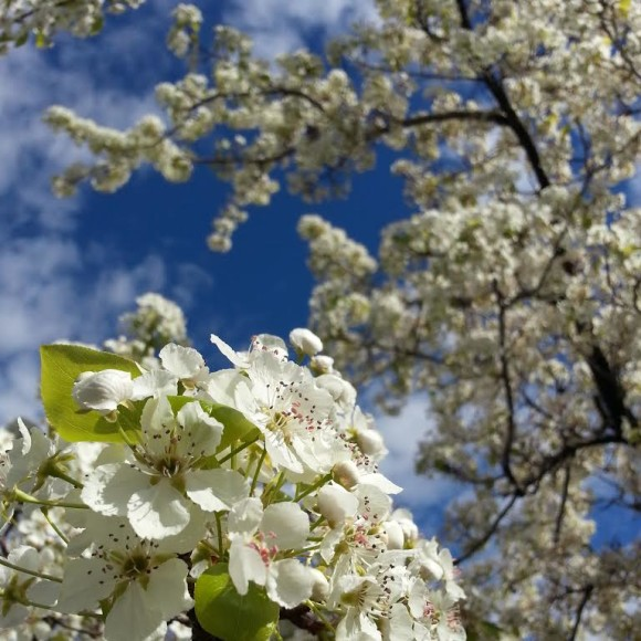 Flowering Pear Tree Blossoms