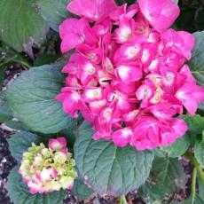 Hydrangea In My Garden