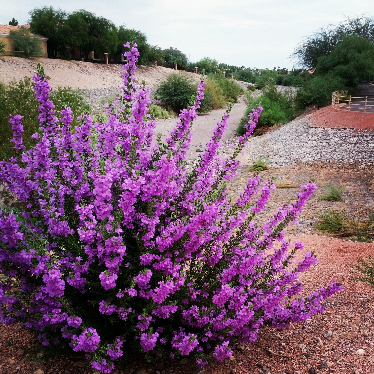 Shrubs with purple flowers pictures - Flowering Shrubs Garden