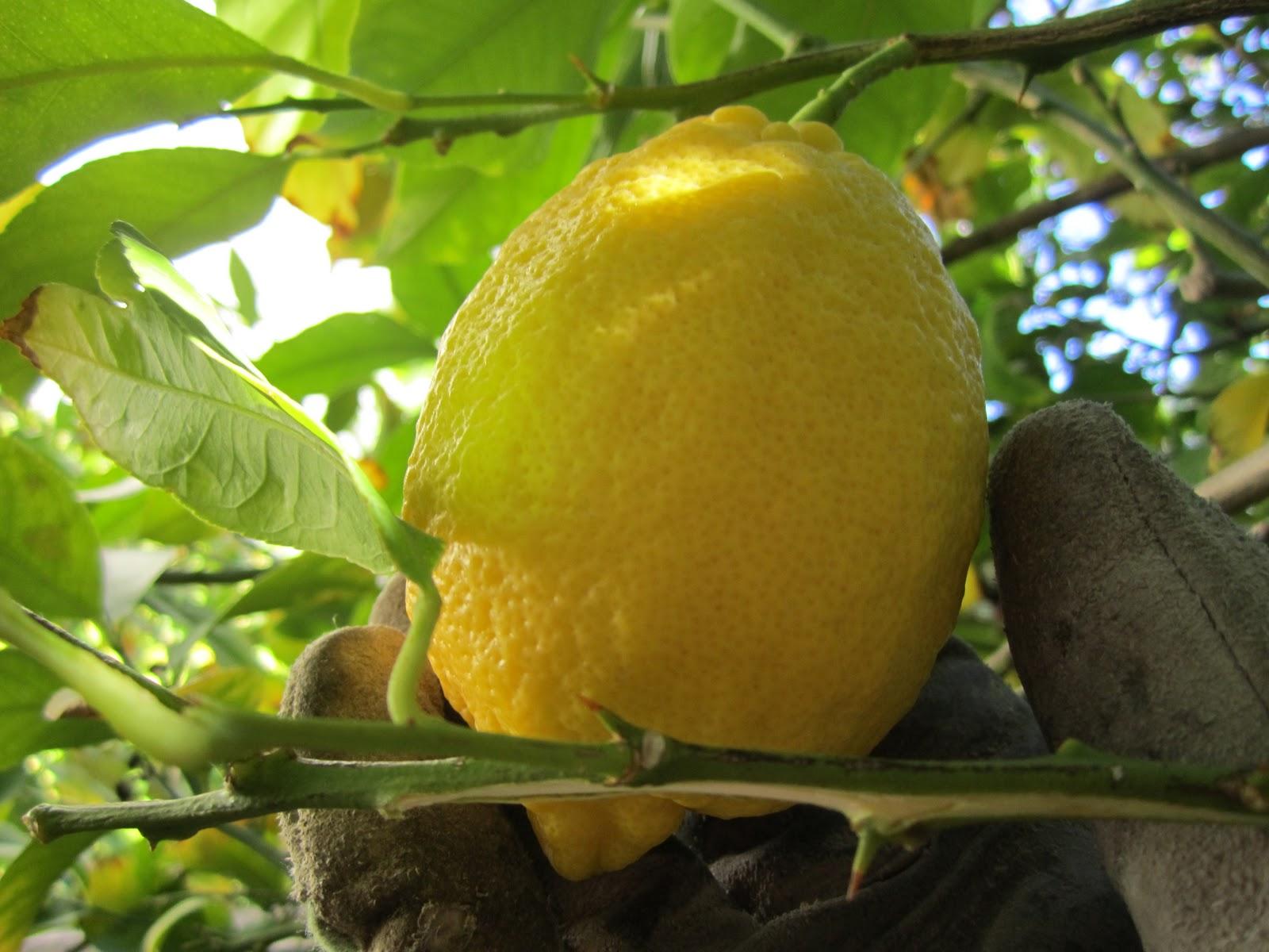 lemon bars recipe u0026 garden wendys hat